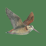Immagine per Richiami Caccia e Birdwatching