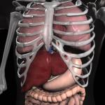 Immagine per Anatomy 3D - Organs
