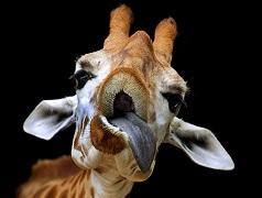 Una giraffa come foto profilo Whatsapp: il pegno da pagare per chi risponde male ad un indovinello! Ecco la soluzione